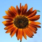 橙色向日葵 免版税库存图片