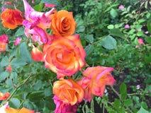 橙色和桃红色玫瑰 免版税库存照片