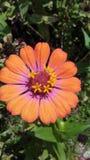 橙色和桃红色秀丽 免版税库存图片
