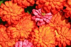 橙色和桃红色花特写镜头在庭院里 免版税库存图片