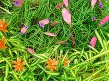 橙色和桃红色蓝色Bromeliad花开花 免版税库存照片