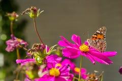 橙色和棕色蝴蝶的特写镜头在一朵桃红色花的 库存图片