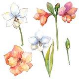 橙色和白色孤挺花 花卉植物的花 被隔绝的例证元素 皇族释放例证