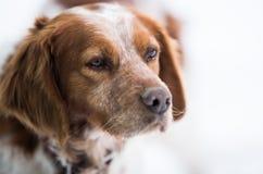 橙色和白色法国人布里坦尼西班牙猎狗 图库摄影