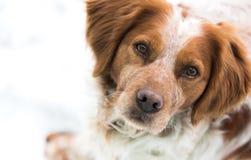 橙色和白色法国人布里坦尼西班牙猎狗 免版税库存图片