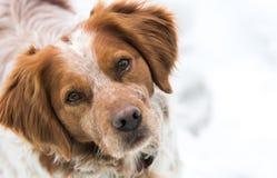 橙色和白色法国人布里坦尼西班牙猎狗 库存图片