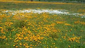 橙色和白花的领域 免版税库存图片