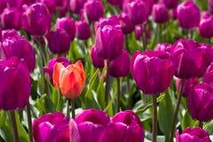 橙色和紫色郁金香 免版税图库摄影
