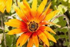 橙色和红色大丁草细节与一个黑中心的 库存图片