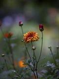 橙色和红色庭院花 免版税库存照片