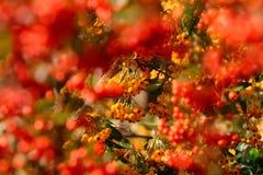 橙色和红色火棘莓果 库存照片