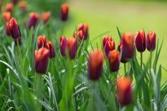 橙色和红色郁金香在公园 背景概念花春天空白黄色年轻人 库存图片