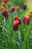 橙色和红色郁金香在公园 背景概念花春天空白黄色年轻人 免版税库存图片