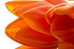 橙色和红色郁金香开花特写镜头 免版税库存图片
