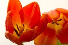 橙色和红色郁金香开花特写镜头 图库摄影