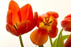 橙色和红色郁金香开花特写镜头 免版税库存照片