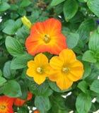 橙色和黄色果酱树花 库存图片