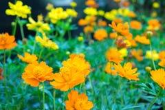 橙色和黄色波斯菊花在全磁场开花 免版税库存照片