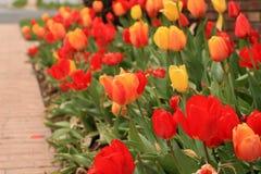 橙色和黄色郁金香花的水平的照片在焦点与在一些环境美化的其他红色和黄色郁金香 库存照片