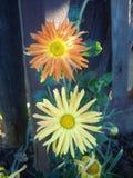 橙色和黄色crusantemums在秋天从事园艺 库存图片