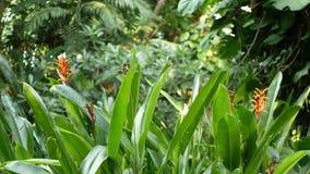 橙色和黄色heliconia,鹤望兰,天堂鸟宏观特写镜头,绿色叶子在背景中 热带的天堂 股票录像