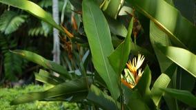 橙色和黄色heliconia,鹤望兰,天堂鸟宏观特写镜头,绿色叶子在背景中 热带的天堂 影视素材