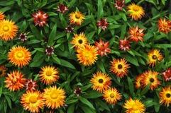 橙色和黄色Strawflowers庭院 库存图片
