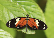 橙色和黑色雨林蝴蝶 免版税库存照片