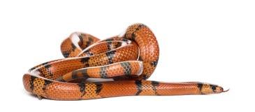 橙色和黑蛇辗压,被隔绝 免版税库存照片