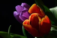 橙色和紫罗兰色新鲜的湿郁金香在黑背景,可看见绿色的叶子开花 图库摄影