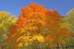 橙色和黄色在秋天树 免版税库存图片