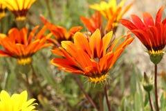 橙色和黄色杂色菊属植物在被弄脏的背景开花 免版税库存图片