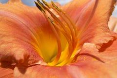 橙色和黄色百合花的宏观照片 库存照片