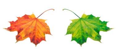橙色和绿色秋天槭树叶子 库存图片