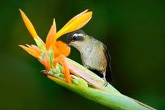 从橙色和黄色花的蜂鸟饮用的花蜜 吮花蜜的蜂鸟 与蜂鸟的哺养的场面 蜂鸟 免版税库存照片
