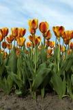 橙色和黄色郁金香床  库存图片