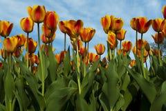 橙色和黄色郁金香床  免版税库存照片