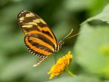 橙色和黄色镶边蝴蝶 免版税库存图片