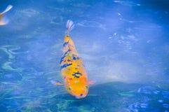 橙色和黑Koi Karper 免版税库存照片