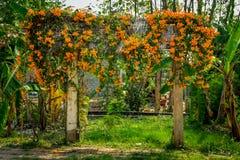 橙色喇叭藤 免版税库存图片
