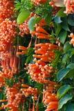 橙色喇叭,火焰花,在墙壁上的爆竹藤 库存照片