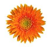 橙色在白色背景隔绝的大丁草雏菊花顶视图,道路 免版税库存照片