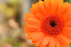 橙色在水平的框架的雏菊花宏观夏天背景  免版税库存照片