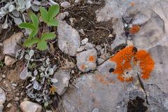 橙色地衣 库存图片