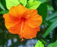 橙色夏威夷木槿开花 库存照片