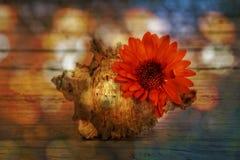 橙色大丁草和贝壳在老木板条 免版税库存照片