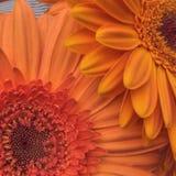 橙色大丁草 库存照片