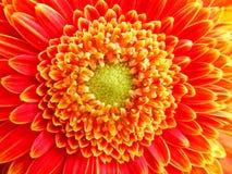 橙色大丁草Pomponi Bonita花的特写镜头 库存图片
