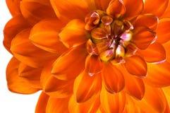 橙色大丽花特写镜头 一朵美丽的火花 免版税库存照片