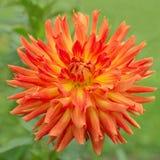 橙色大丽花花本质上 免版税库存照片
